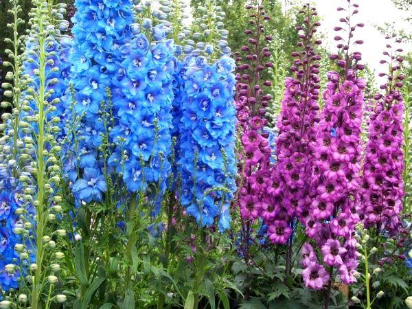 Высокие синие цветы фото