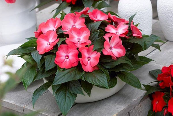 Комнатные цветы и растения с пестрыми (разноцветными) листьями и их фото