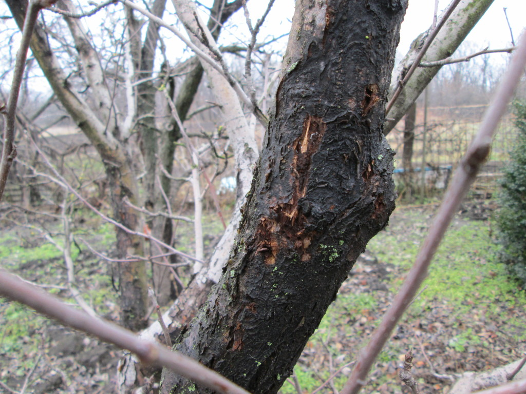 Sonbaharda elma ağaçlarını dikmek: bahçıvanlar için ipuçları