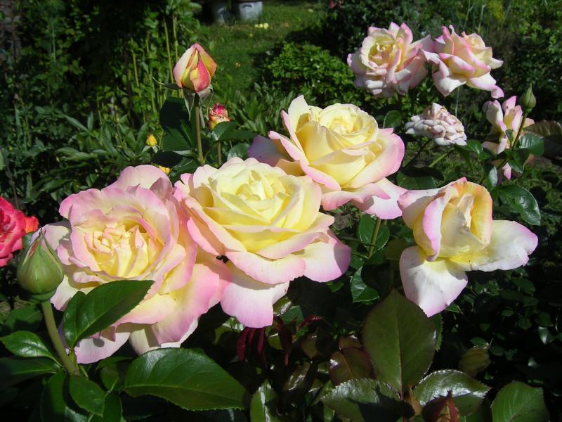Картинки по запросу Все, что необходимо знать об осенней посадке розовых кустов