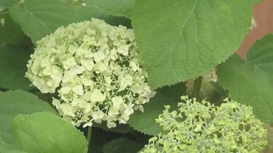 Hydrangea anabel cuidado y cultivo. Métodos y reglas de reproducción ...