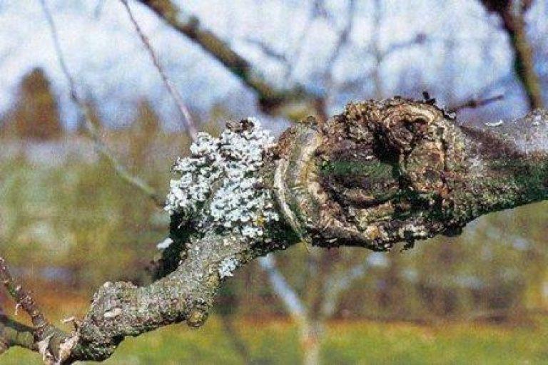 Обычный рак у яблони лечение