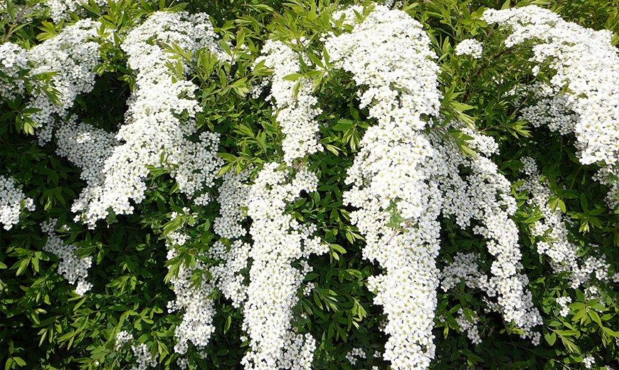 Nombres de plantas de artesanía. Arbustos florecientes plantas ...