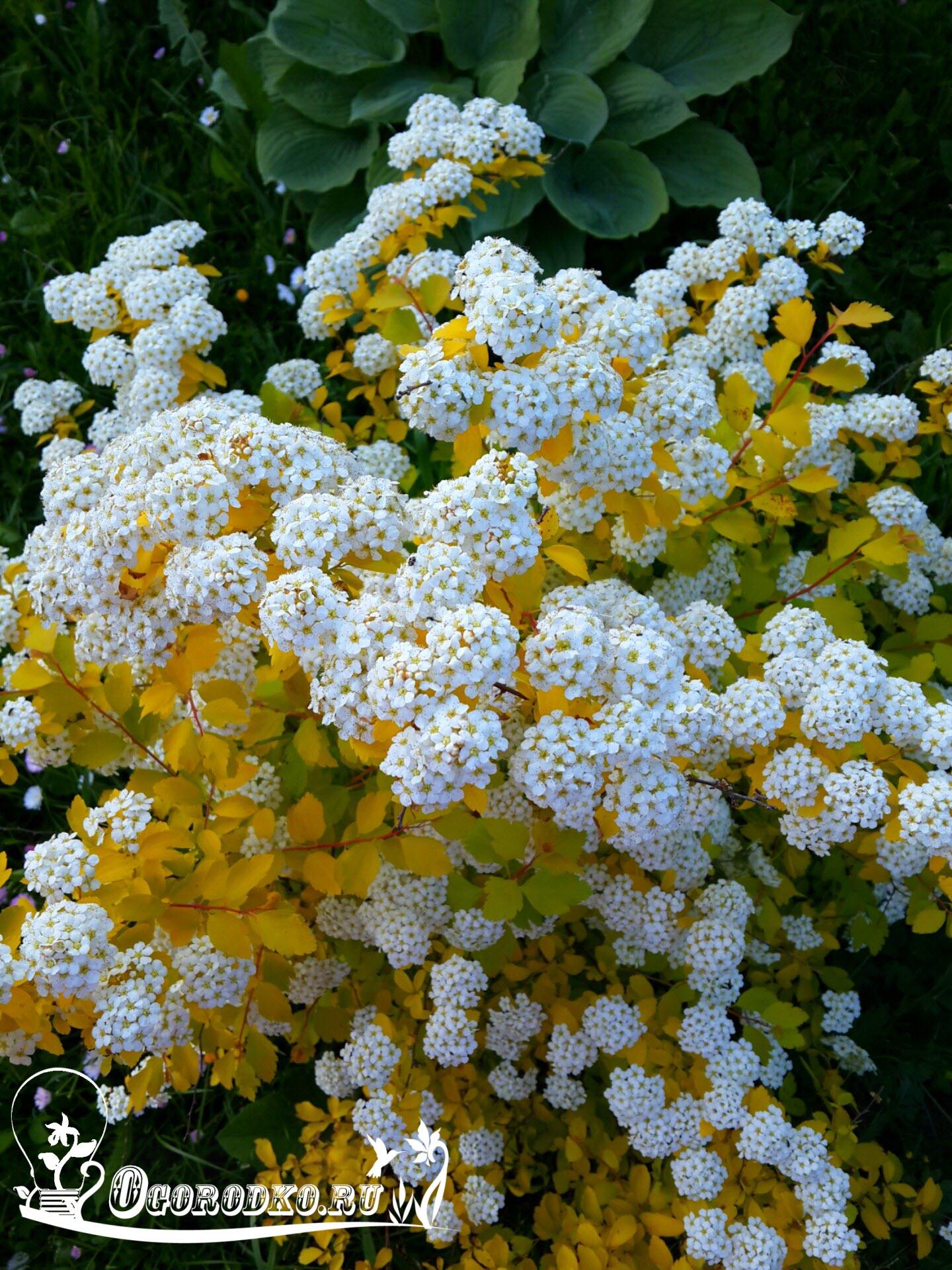 İlkbahardan sonbahara kadar zambak yetiştiriciliği ve üst pansuman 11
