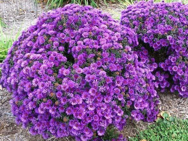 Каталог многолетних садовых цветов фото и название