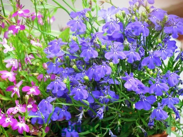 Однолетние цветы синего цвета фото