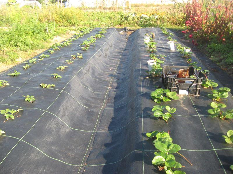 Sonbaharda Victorianın doğru iniş yeri: erken hasatla ilgilenmek