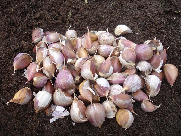 Когда садить зимний чеснок в беларуси. Когда сажать чеснок осенью: даты по лунному календарю и способы посадки