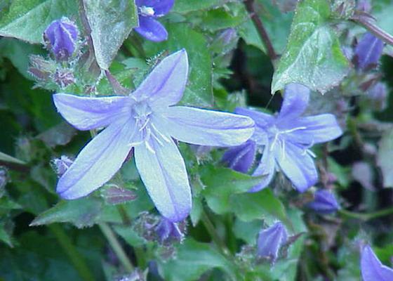 Комнатный цветок похожий на колокольчик: фото и названия 67