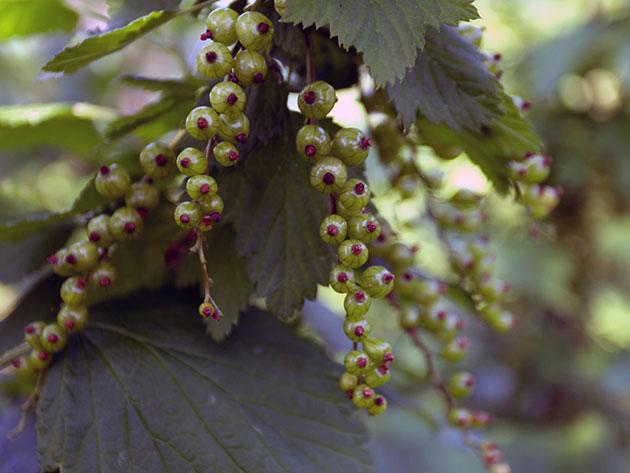 Üzüm yetiştirmek nasıl: yeşil kesimler ile yayılma