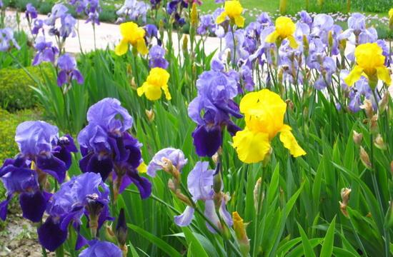 Касатик - цветок, любимый многими садоводами