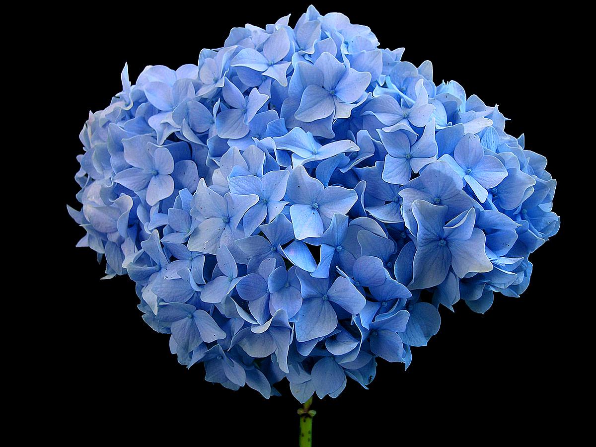 Ortanca mavisi: dikim ve bakım. Mavi ortanca nasıl bakım yapılır