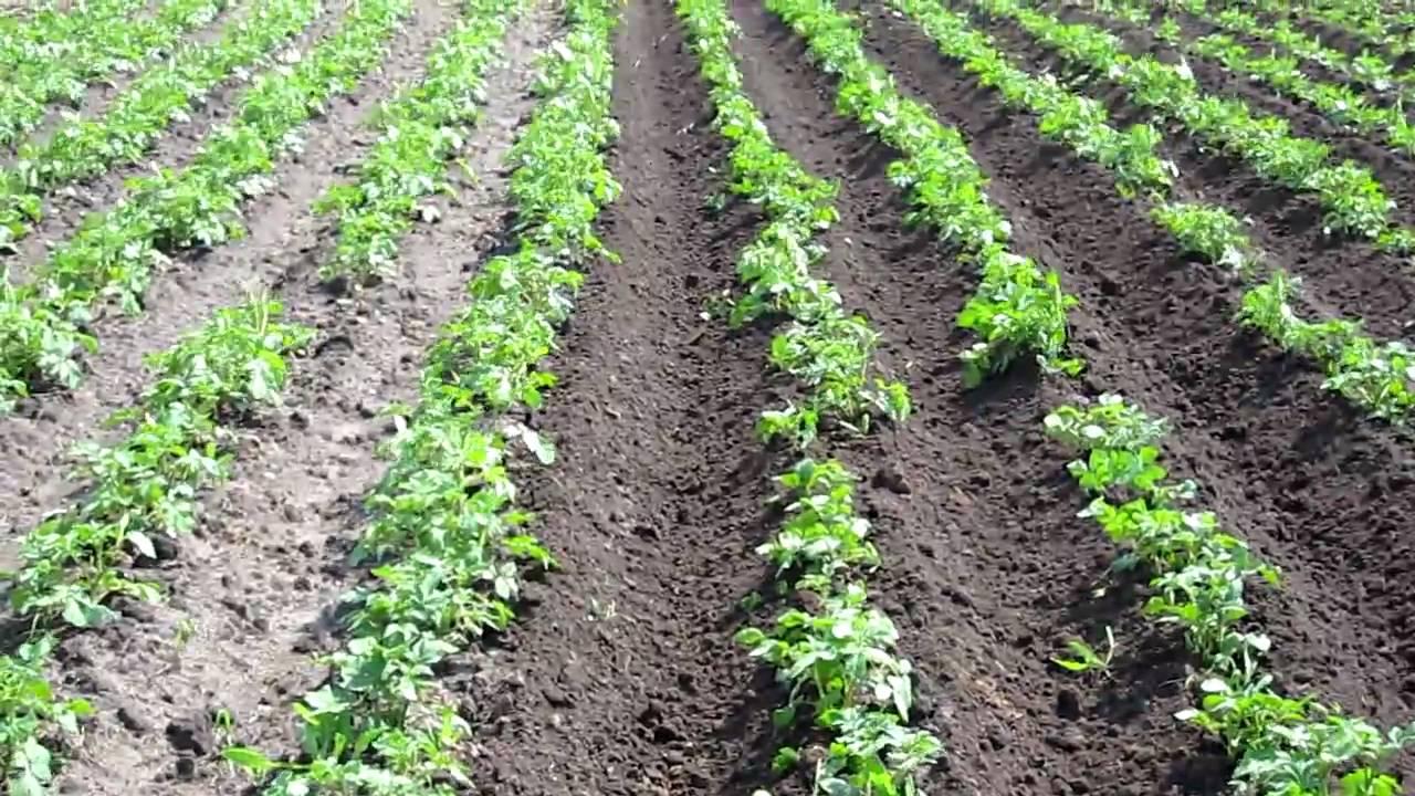 Нужна ли ботва картофелю когда скашивать
