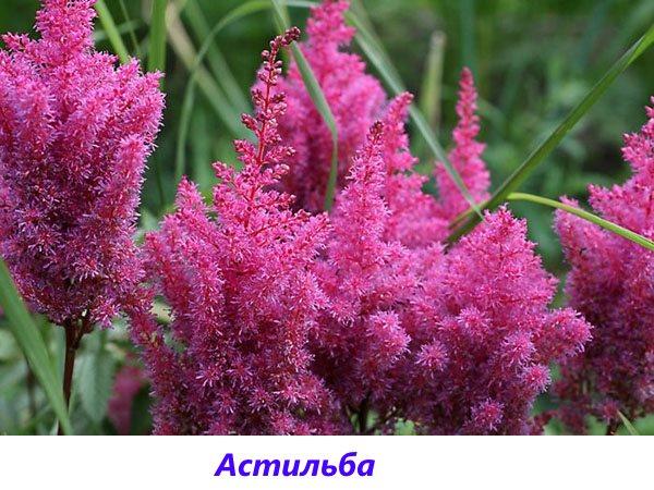 çiçek Açan çiçekler En Uzun Ve Uzun çiçekli çok Yıllık