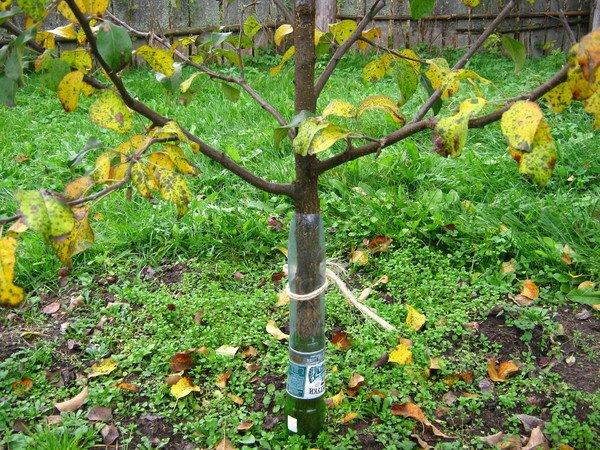 Urallar için elma ağaçlarının kış ve sonbahar çeşitleri