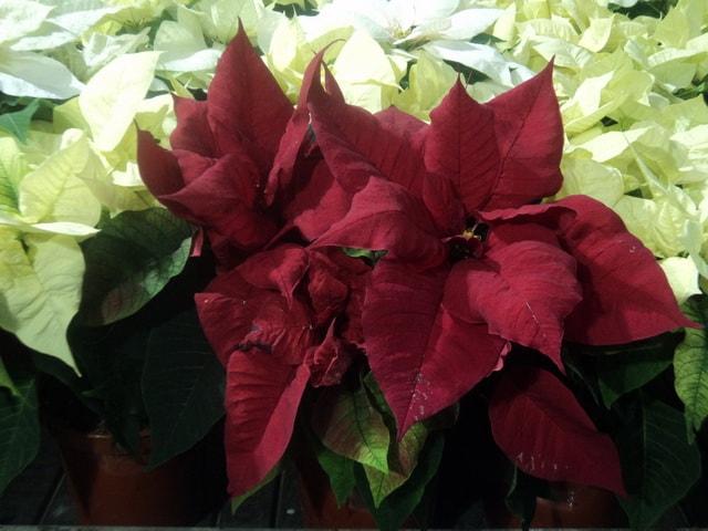 Kırmızı çiçeklerle Saksı çiçeği Kapalı Sardunyalar Ev Güzellikleri