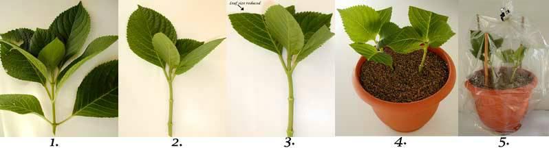 Mezcla de Hydrangea en el hogar Hortensia en una maceta cuidado