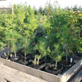 Как правильно посадить саженец сосны