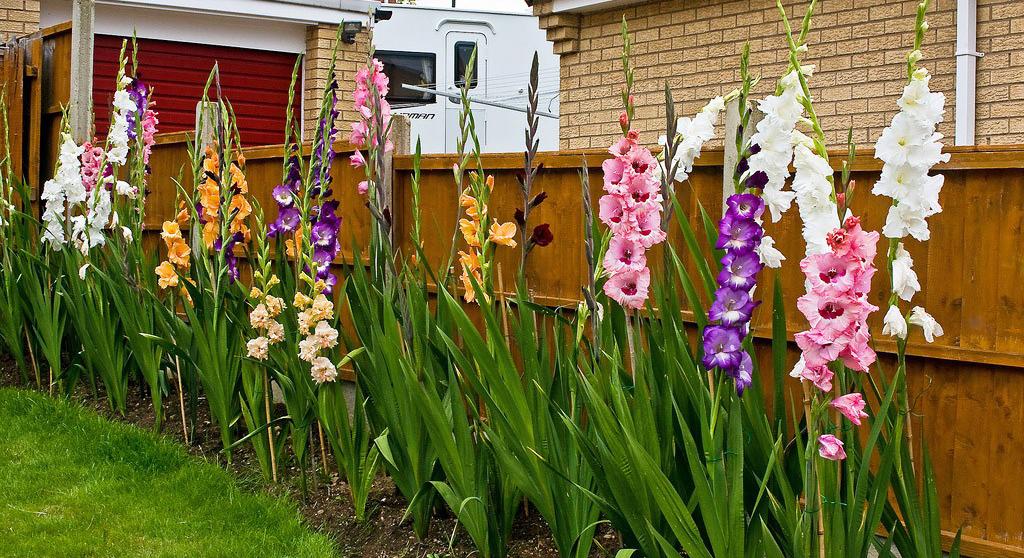 İlkbaharda ekim için gladioli nasıl hazırlanır