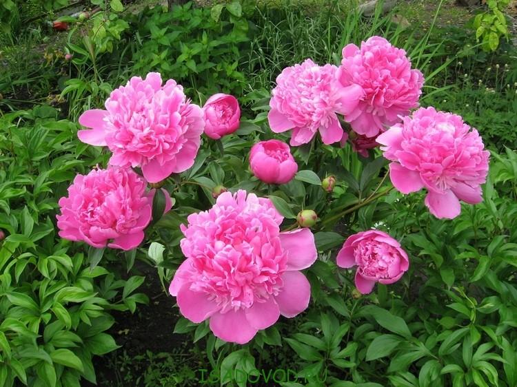 Чем подкормить пионы весной до цветения народными средствами
